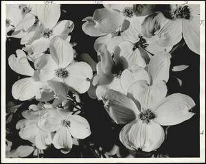 Dogwood Blossoms Cookson Hills 1960.jpg